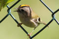 Goldcrest image from gardenbirdwatching.com