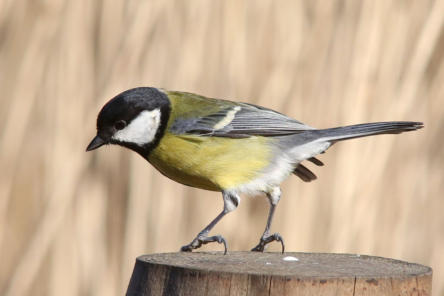 Great Tits Bird 46