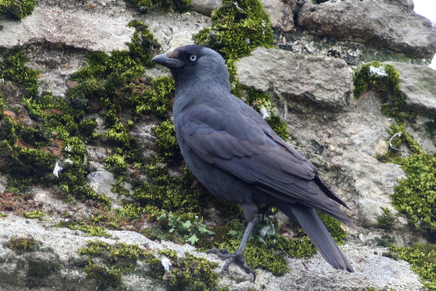 Its On Us >> Jackdaw