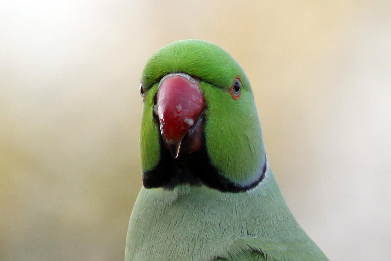 Rose Apple Tree Ring-necked Parakeet