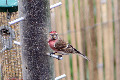 Redpoll image from gardenbirdwatching.com